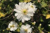 Anemone hybr. Whirlwind'