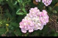 Achillea 'Apple Blossom'