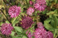 Astrantia 'Wash Field'
