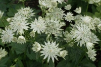 Astrantia major 'Super Star