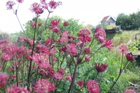 Astrantia major ' Ruby Star'