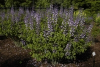 Baptisia'Purple Smoke'