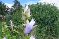 Campanula latifolia ' Gloaming'