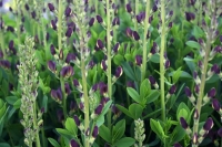 Baptisia 'Twilite Prairieblues'