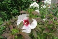 Hibiscus 'Kopperking'