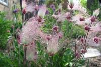 Geum trifolium