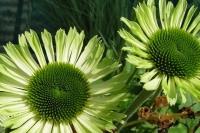 Echinacae 'Green Jewel'