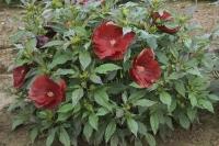 Hibiscus 'Cranberry Crush'