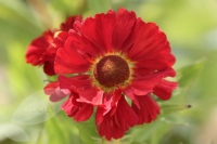 Helenium ' Indian Summer '