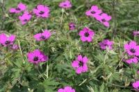 Geranium 'Patricia'