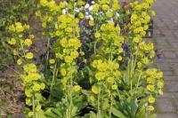 Euphorbia am. robbiae
