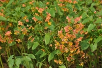 Epimedium  x warleyense 'Orange Queen'