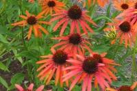 Echinacae 'Orange Passion'