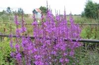 Lythrum virgatum ' Dropmore Purple'