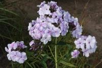 Phlox pan. 'Lavendelwolke'