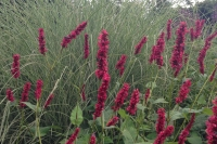 Persicaria ampl. ' Fat Domino'
