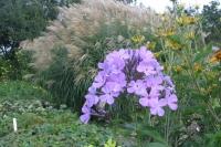 Phlox pan. 'Luc's Lilac'