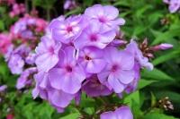 Phlox pan 'Lilac Time'