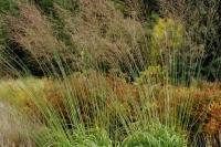 Molinia arundinacea 'Transparent'