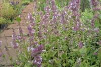 Nepeta grandiflora ' Dawn to Dusk'