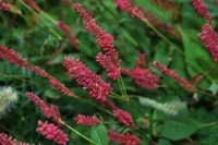 Persicaria ampl. 'Dark Red'