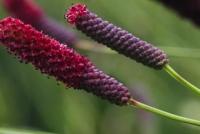 Sanguisorba tenuifolia 'Atropurpurea'