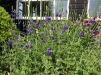 Salvia micr. 'Billiers'