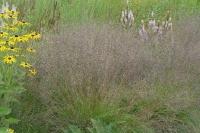 Sporobolus heterolepis