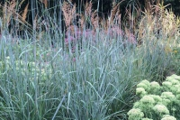 Sorghastrum 'Indian Steel'