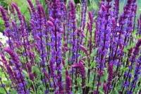 Salvia nem. ' Caradonna '