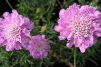 Scabiosa columbaria 'Pink Mist'