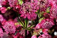 Astrantia major'Abbey Road'
