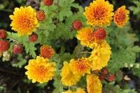 Chrysanthemum 'Bienchen'