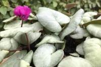 Cyclamen coum 'Pewter Leaf'