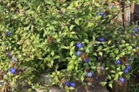 Ceratostigma will. 'Forest Blue'