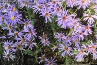 Aster commixtus 'Twilight'