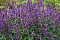 Agastache 'Purple Haze'