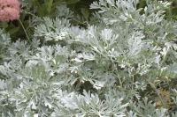 Artemisia absinthum 'Lambrook 'Silver'