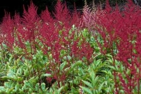 Astilbe 'Montgommery'
