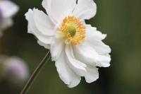 Anemone 'Ruffled Swan'
