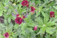 Astrantia major 'Garnet