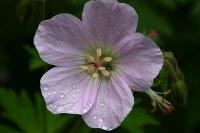 Geranium sylvaticum 'Bakers Pink'