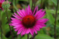 Echinacae 'Ruby Glow'