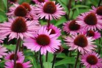 Echinacea purpurea 'Profusion'