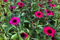 Echinacea purpurea 'Summer Cloud'