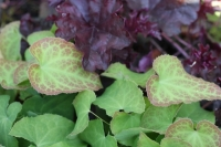 Epimedium met Heuchera