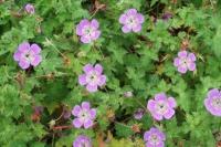 Geranium wallichianum 'Sweet Heidi'