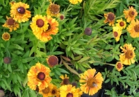 Helenium ' Sahin's Early Flowerer'