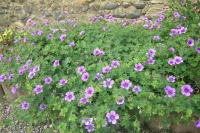 Geranium hybr 'Dilys'
