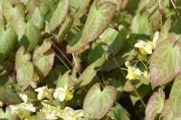 Epimedium x versicolor 'Sulpureum'
